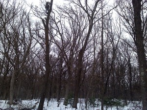 Dead tree removal by Aerial Tree Service - Eau Claire, Chippewa Falls and Menomonie